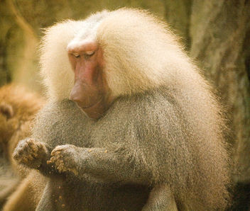 Hello, Human... (SINGAPORE ZOO/HAMADRYAS BABOON/ANIMALS/GREETING) XI - Free image #275663