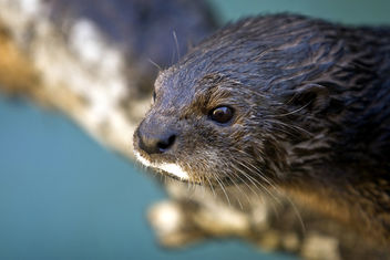 Otter, California or Africa, I Dunno. - image #275713 gratis