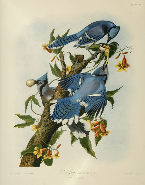 Vintage Bird Illustration, two blue jays - Free image #275783