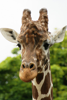 Giraffe - image gratuit #275793