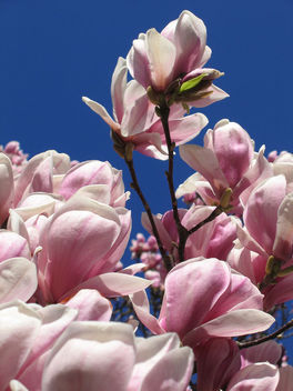 magnolias - Free image #275873