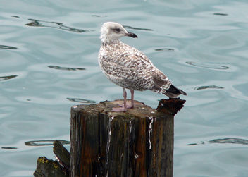 Seagull chick - Free image #276053