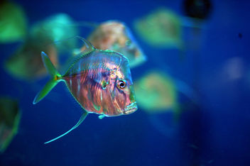 Lookdown Fish - image #276163 gratis