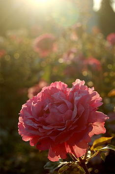 Illuminated rose - image gratuit #276393
