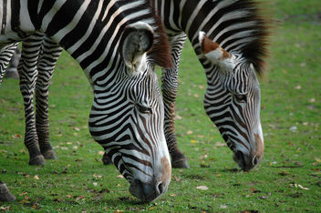 Zebra - Free image #276713