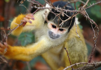 Squirrel monkey - image gratuit(e) #276723