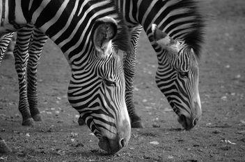 Zebra in B&W - image gratuit #276743
