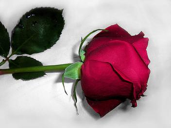 Rose - image gratuit #276763