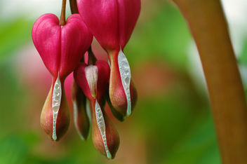 Bleeding Hearts - image gratuit #276983