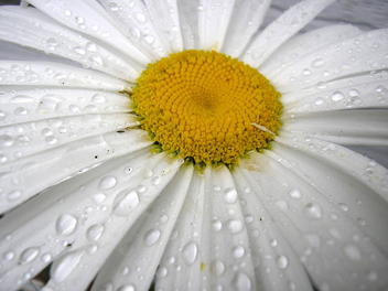 After the Rain on the Daisy a Study in white - image gratuit #277203