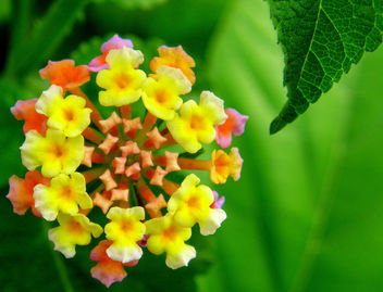 Lovely Lantana - image #277233 gratis