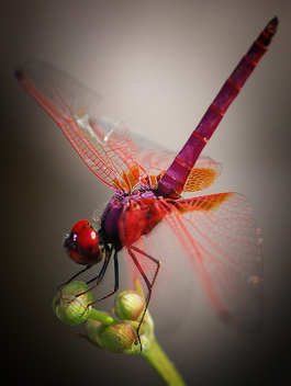 The Common Red Dragonfly. Kentridge Park - image gratuit #277293