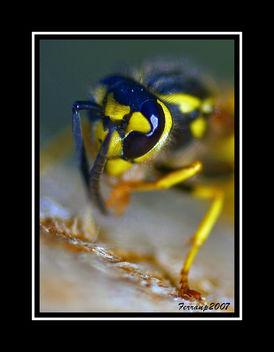 retrat d'una vespa 1- retrato de una avispa - potrait of a wasp - Kostenloses image #277613