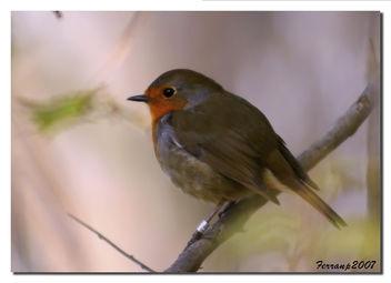 petirrojo 05 - pit-roig - robin - Erithacus rubecula - Free image #277663