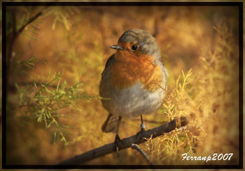 pit-roig camuflat - petirrojo camuflado - robin - erithacus rubecula - Free image #277733