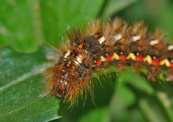 The caterpillar lunch - oruga peluda 01 - Acronicta rumicis - image gratuit #277743