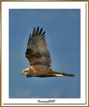 arpella vulgar 19 - aguilucho lagunero - marsh harrier - circus aeruginosus - Free image #277883