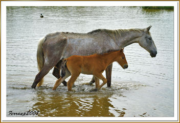caballos (madre e hija) 01 - cavalls del Remolar (mare i filla) - horses (mother and son) - Free image #277893