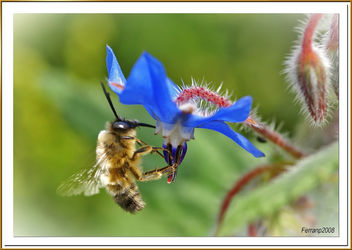 abeja libando una borraja 05 - bee sucking a borage flower - abella libant una borraina - Free image #278133