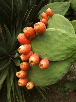 Ripe cactus - Free image #278173