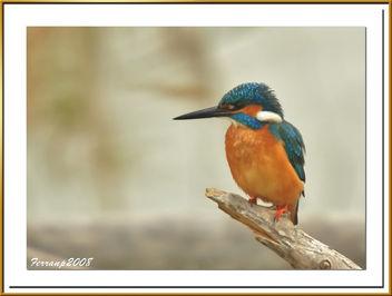 blauet 17 - martin pescador - king fischer - alcedo atthis - Free image #278203