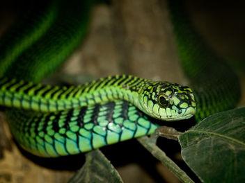 Boomslang Snake - бесплатный image #278223