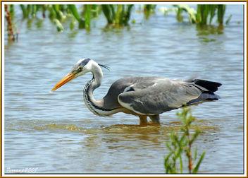 Bernat pescaire pescant 04 - Garza real pescando - Grey heron fishing - Ardea cinerea - Free image #278283