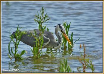 Bernat pescaire pescant 08 - Garza real pescando - Grey heron fishing - Ardea cinerea - image gratuit #278313