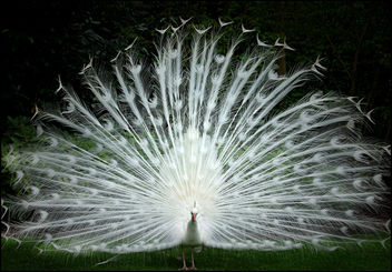 White peacock showing off his plumage - image #278323 gratis