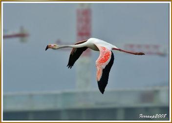 flamencs volant 06 - flamencos en vuelo - greaters flamingos in fligth - phoenicopterus ruber - Kostenloses image #278463