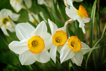 Wild daffodils - Kostenloses image #278513