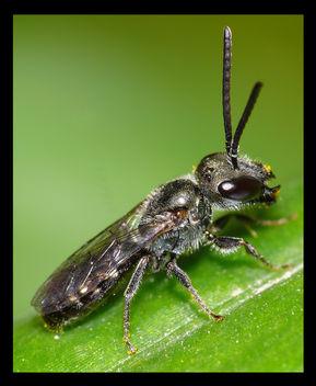 Hoverfly - Sirfide Adulta - image #278653 gratis