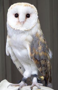 Barn Owl - Avenefica - бесплатный image #278903