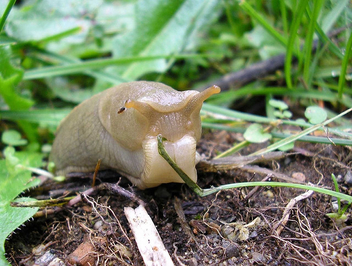 Shot of a lifetime, slug eating a leaf - image #278963 gratis