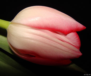 Tulip Time - Kostenloses image #279293