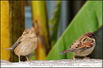 The two sparrows ... - Kostenloses image #279363