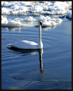 Lake Ontario Swan (Long Straight Neck) - Kostenloses image #279393