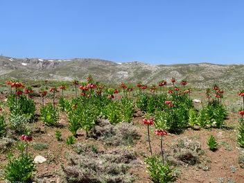 Fritillaria imperialis - image #279653 gratis