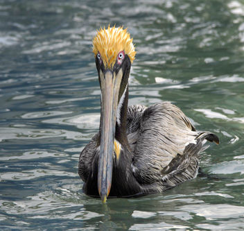 Spikey 'do ( Brown Pelican / Pelecanus occidentalis ) - бесплатный image #279663