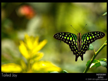 Tailed Jay - image gratuit #279673