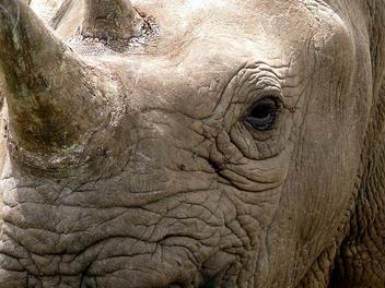 White Rhino - Kostenloses image #279733