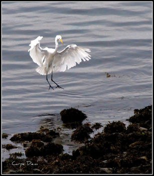 An Egret Lands Safely - image #280293 gratis