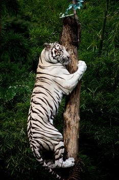 Climbing White Tiger - image gratuit #280453