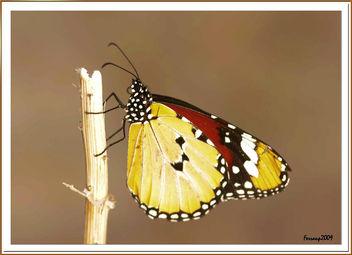 Danaus Chrysippus - mariposa tigre - plain tiger - image #280653 gratis