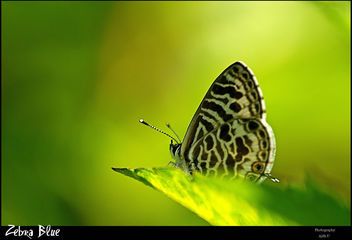 Zebra Blue - Free image #280763
