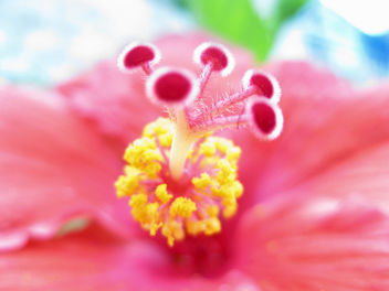 Stame e Pistilli - Hibiscus rosa-sinensis - image gratuit #280823
