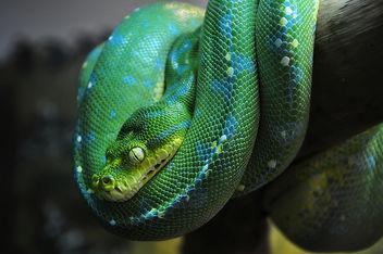 Green Tree Python (DSC_0133) - Free image #280843