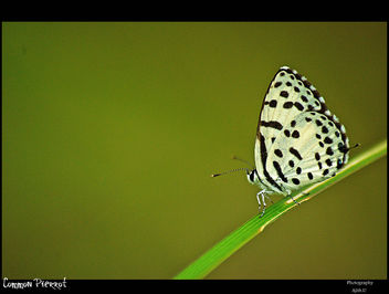 Common Pierrot - Free image #280903