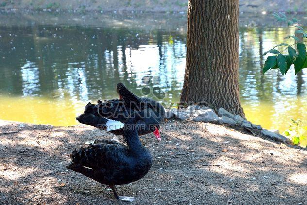 Black Swans - Free image #280953