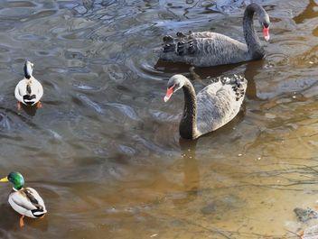 Black swans - image gratuit #280963